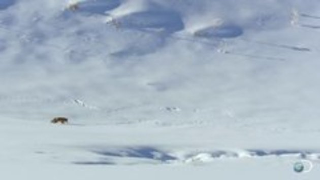 Fox hunting under snow in an incredible way - Snotr