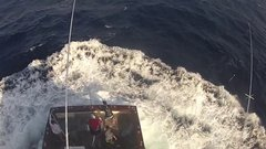 Thumbnail of 600lb Black Marlin Jumps in Boat and Lands on the Crew
