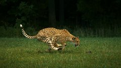 Thumbnail of Cheetahs