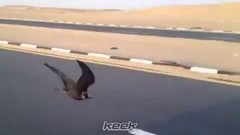 Thumbnail of A Falcon flying at 70 mph!