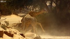 Thumbnail of Giraffes Fight To The Death - Kalahari desert