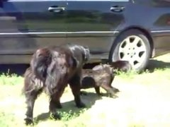 Thumbnail of Dogs breaking up 2 cats fighting