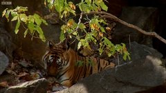 Thumbnail of Wild tiger cubs and their mother caught on film for the first time.