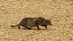 Thumbnail of A Feral Cat Hunting