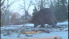 "Thumbnail of ""The most amazing beaver experience of my life"""