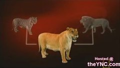 Thumbnail of Lion and Tiger hybrid (Liger)