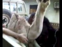 Thumbnail of A camel being tickled..