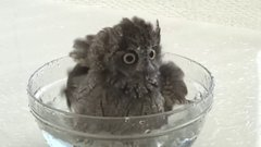 Thumbnail of Cleaning an owl
