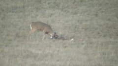 Thumbnail of Two deer fight and get stuck together...