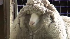 Thumbnail of Wooliest sheep in the world