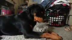 Thumbnail of Rottweiler loves cat so much