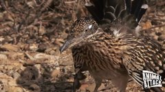 Thumbnail of meep-meep... Roadrunner likes snake for lunch