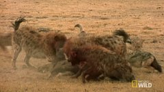 Thumbnail of Female hyenas with strange body parts....