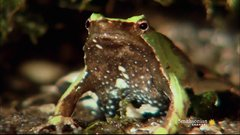 Thumbnail of Why Is This Amphibian Called Vomit Frog?