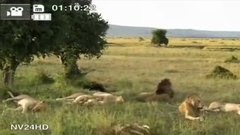 Thumbnail of Strange lions filmed on safari