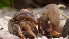 Thumbnail of Hermite crabs changing shells
