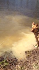 Thumbnail of German Shepherd throws a fit when she has to quit swimming