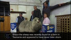 Thumbnail of Shaun the Sheep Gets First Shearing in Six Years