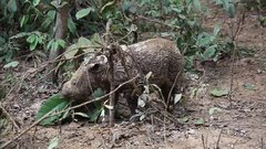 Thumbnail of The Highly Endangered Sumatran Rhinoceros And Her Calf