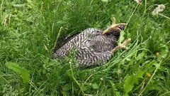 Thumbnail of I caught my chicken sleeping on the job