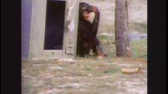 Thumbnail of Emotional Reunion with Chimpanzees