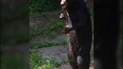 "Thumbnail of ""Pedals"" bipedal bear sighting"