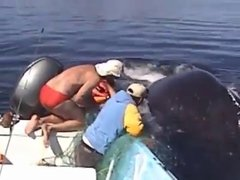 Thumbnail of Humpback whale shows amazing appreciation after being freed from nets.