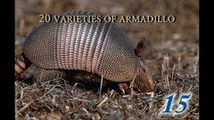 Thumbnail of 15 Amazing Facts about the Armadillo