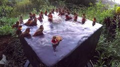 Thumbnail of Hummingbird Pool Party Number Five!
