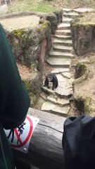 Thumbnail of Chimp chucks poo at granny in zoo and score a direct hit.