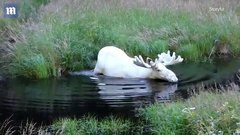 Thumbnail of White moose