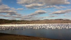 Thumbnail of 10,000 Snow Geese Taking Off