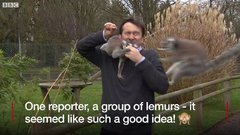 Thumbnail of BBC reporter mobbed by lemurs