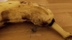 Thumbnail of Spider bursts out of a banana - FAKE - explained