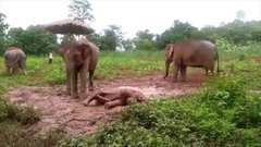 Thumbnail of Baby elephant can not stand up from the slippery play pit