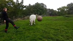 Thumbnail of Cow loves to play fetch