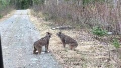 Thumbnail of Two Lynx in Ontario Have Intense Conversation