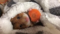 Thumbnail of Cute hamster eating a carrot. HD