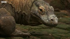 Thumbnail of Komodo Venom and its Effects: BBC Earth Unplugged