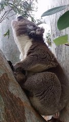 Thumbnail of Koala mating call