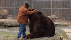 Thumbnail of Kodiak bear grabs Jim back as he walks away...