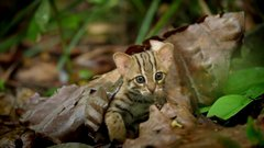 Thumbnail of World's smallest cat