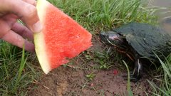 Thumbnail of Turtles Love Watermelon!