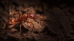 Thumbnail of Kidnapper Ants Steal Other Ants' Babies - And Brainwash Them
