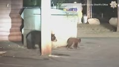 Thumbnail of Deputies rescue bear cub trapped in trash bin