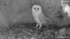 Thumbnail of Adorable barn owl chick is petrified of thunder and lightning