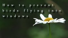 Thumbnail of Simple tip to prevent birds flying into window