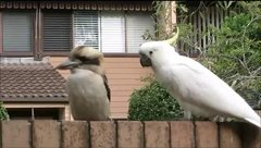 Thumbnail of Cockatoo Teasing a Kookaburra
