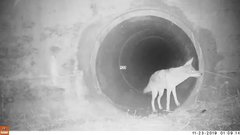 Thumbnail of A coyote and a badger use a culvert as a wildlife crossing to pass under a busy California highway.