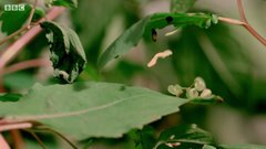 Thumbnail of Caterpillars Feeding on Exploding Touch-Me-Not Seed Pods
